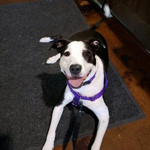 Medium black and white helper dog