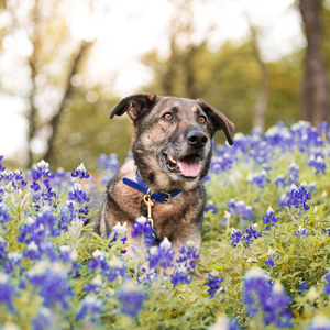 Shepard helper dog