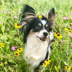 Small black and white helper dog