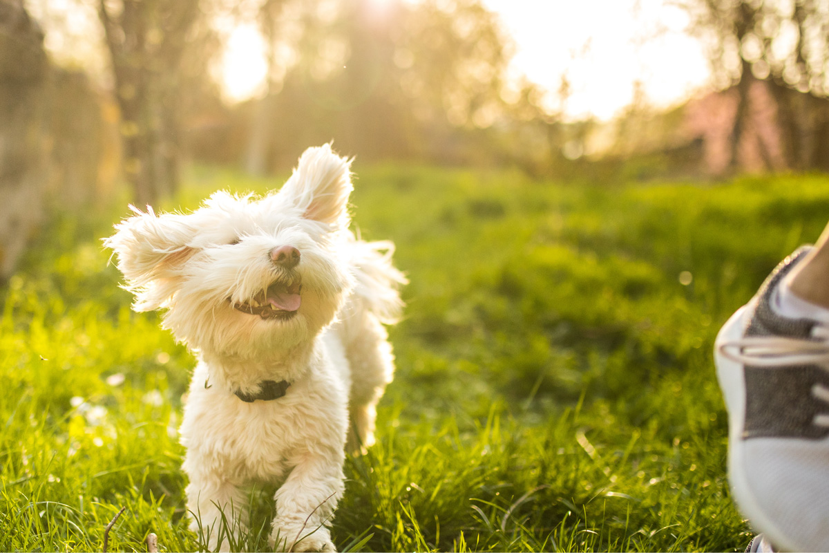 white dog running in grass